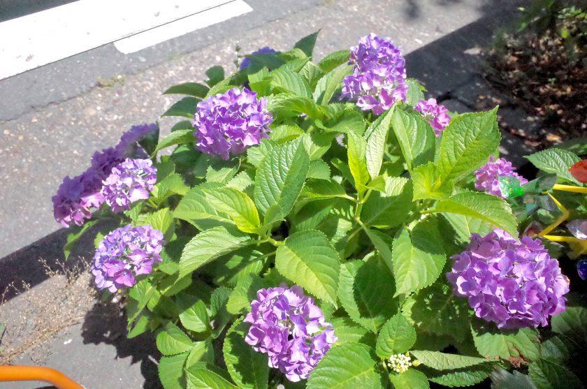 店の前の紫陽花